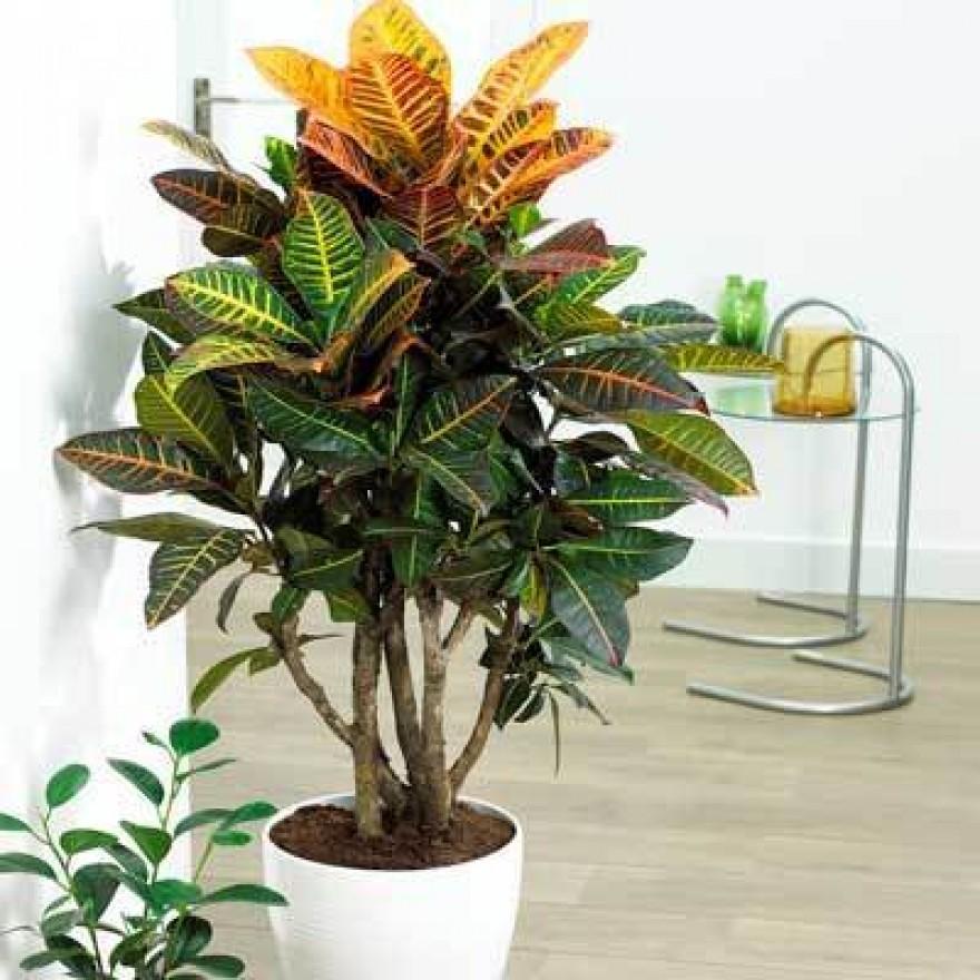 Croton care