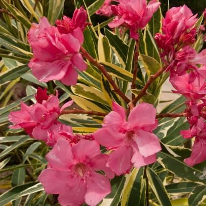 Oleander care