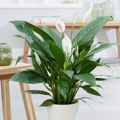 Spathiphyllum Care