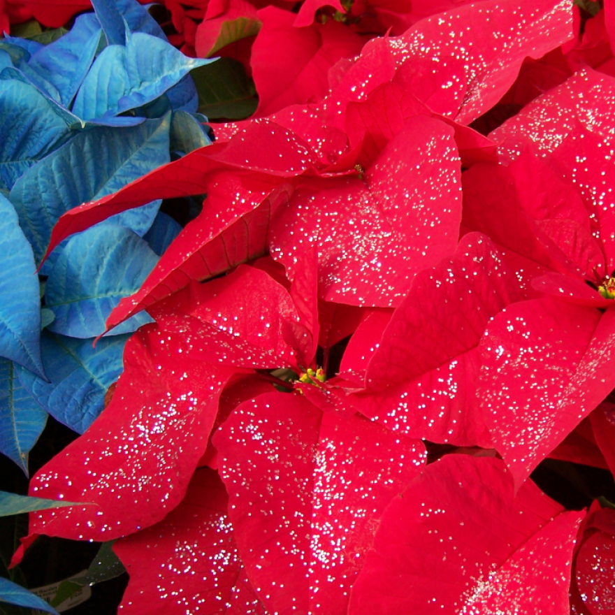 Poinsettias - Christmas Customs & Traditions