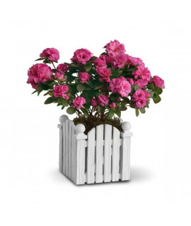 Picket Fence Azalea