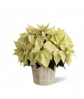 White Poinsettia - 8 inches