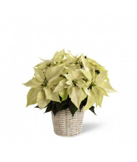 White Poinsettia - 6 inches