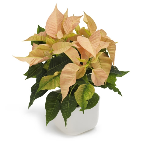Salmon Poinsettia