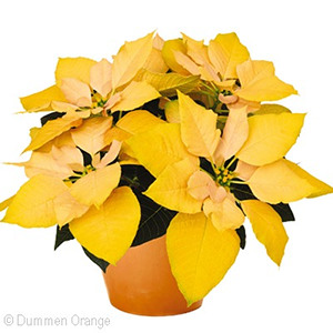 Yellow Poinsettia